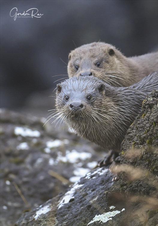 Mull Otters 3