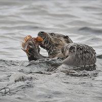 Otter and Cub Feeding