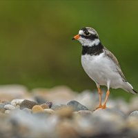 Ring Plover 3