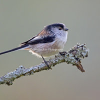 Long Tailed Tit on Twig