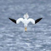 Diving Gannet 2