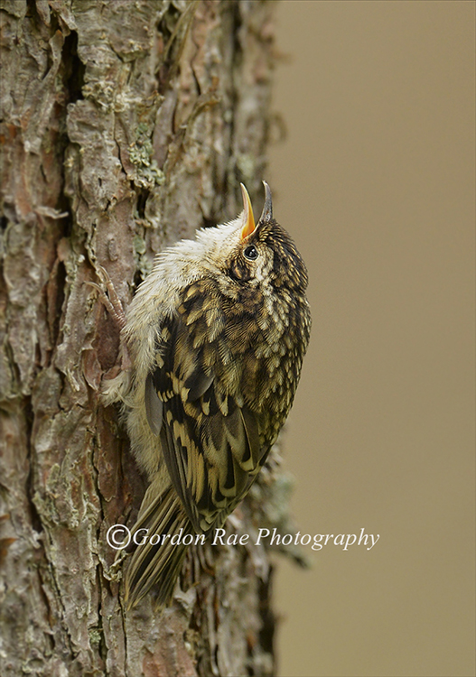 Juvenile Treecreeper Calling