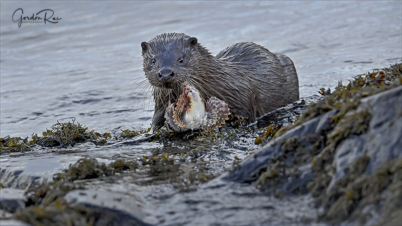 Mull Otter 8