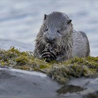 Mull Otter 9