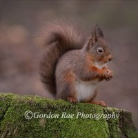 Red Squirrel 9