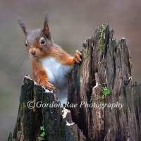 Red Squirrel 7