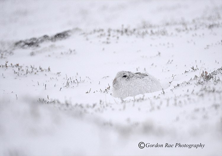 Mountain Hare in Snowstorm