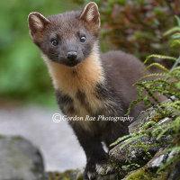 Wild Scottish Pine Marten