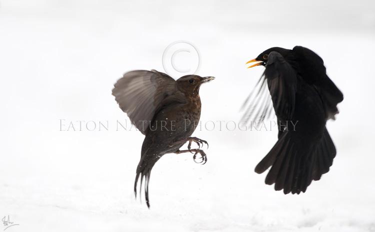 Blackbird posturing