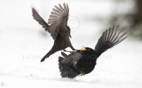 Thwarted Blackbird