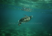 Green Sea turtle surfacing for air