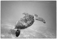 Green Sea turtle flying