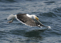 Great Black-backed gull with fish