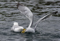 Herring Gull Fight