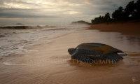 Leatherback dawn