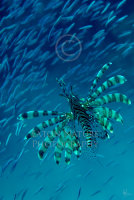 Lionfish stalking baitfish