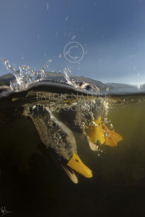 Mallard diving for food
