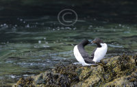 Razorbill greeting