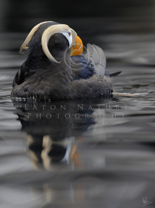 Tufted Puffin resting