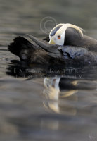 Tufted Puffin on calm sea