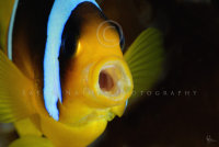 Two-band anemonefish