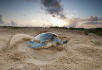 Olive Ridley Turtle covering her nest