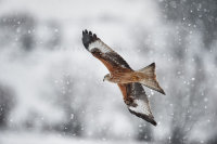 Red Kite in snow