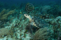 Hawksbill on a reef