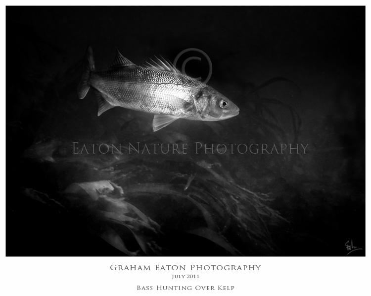 Bass hunting over kelp