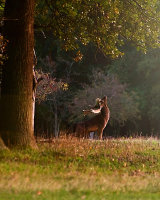 Morning Stag in Phoenix Park