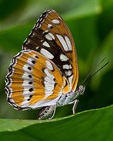 Posing Butterfly