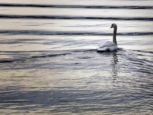 Swan ripples