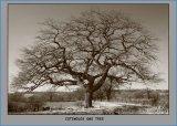 Cotswold OakTree