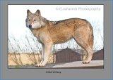 Wild Wolves 1
