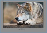 Wild Wolves 2