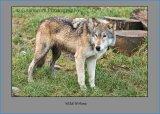 Wild Wolves 4