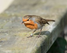 Robin eating a mealworm