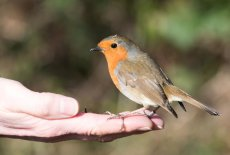 Robin being handfed