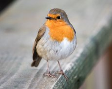 Robin on handrail