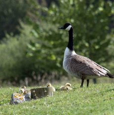 Canada Goose and chicks (II)