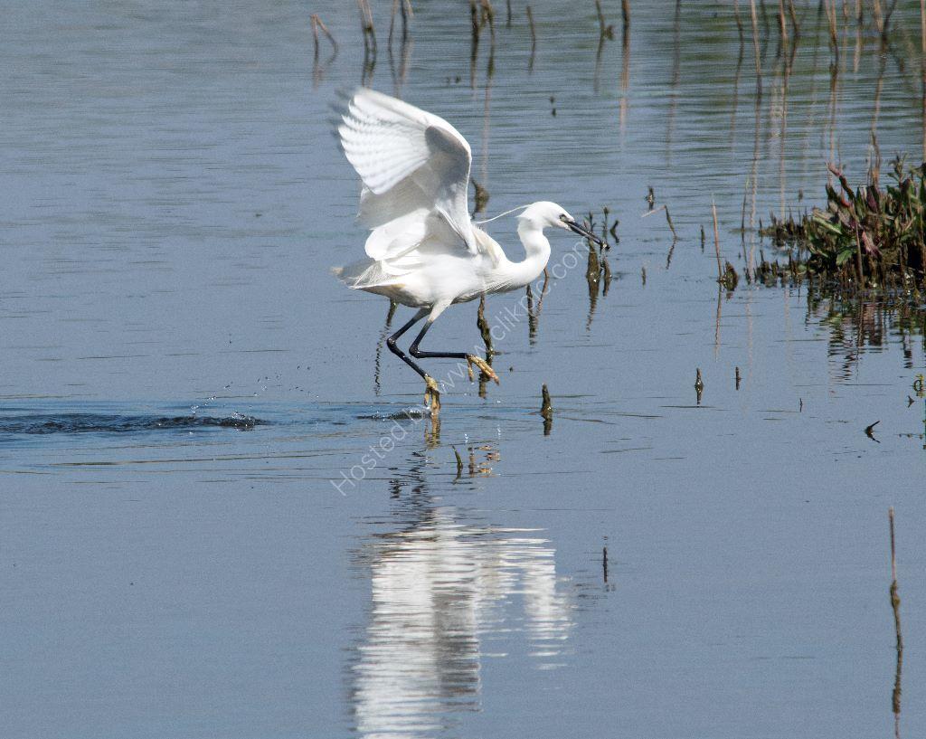 Dancing Little Egret