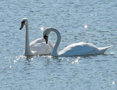 Two Mute Swans