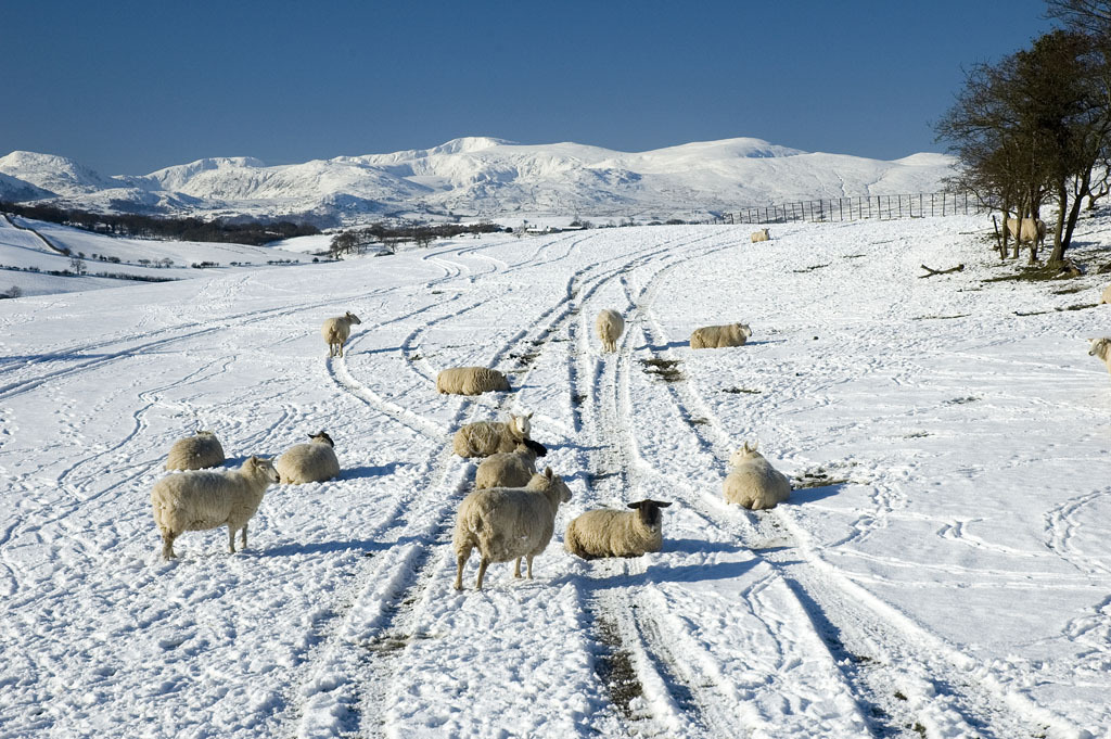 Sheep in snow field