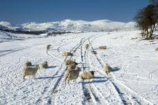 Sheep in snow field