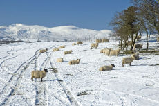 Sheep on a snow covered field
