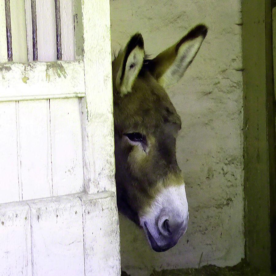 Hello Donkey Erddig Hall Wrexham
