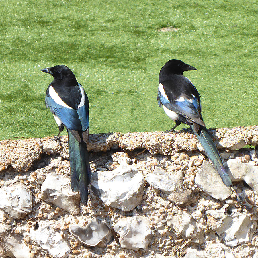 Two Magpies - Joy - Left or Right?