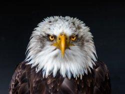 eagle eyed (002)