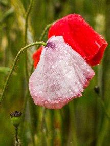 poppies in rain2
