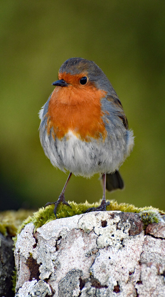 Watching Over You, Robin Red Breast
